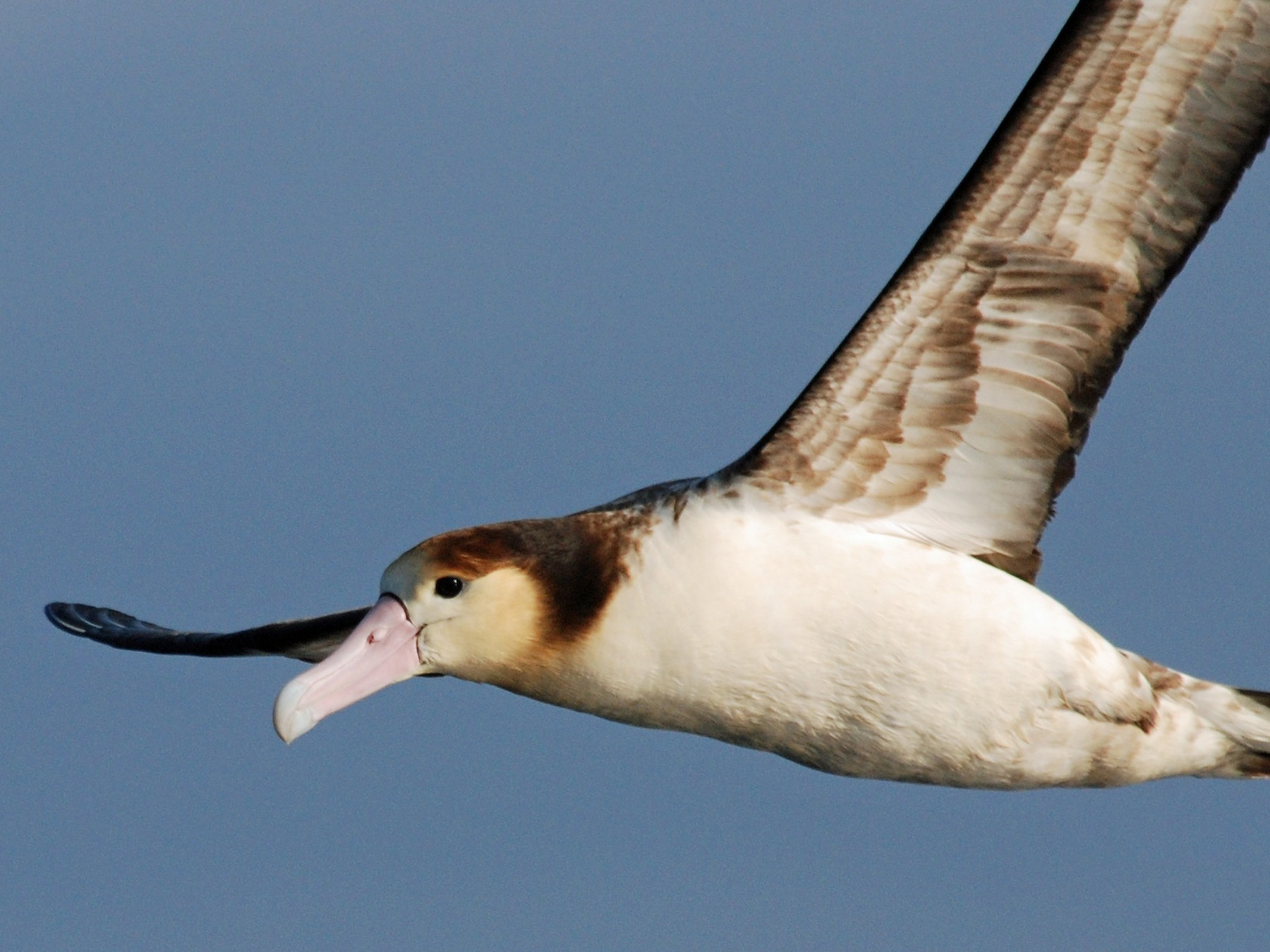 Short-tailed Albatross - Nigel Voaden