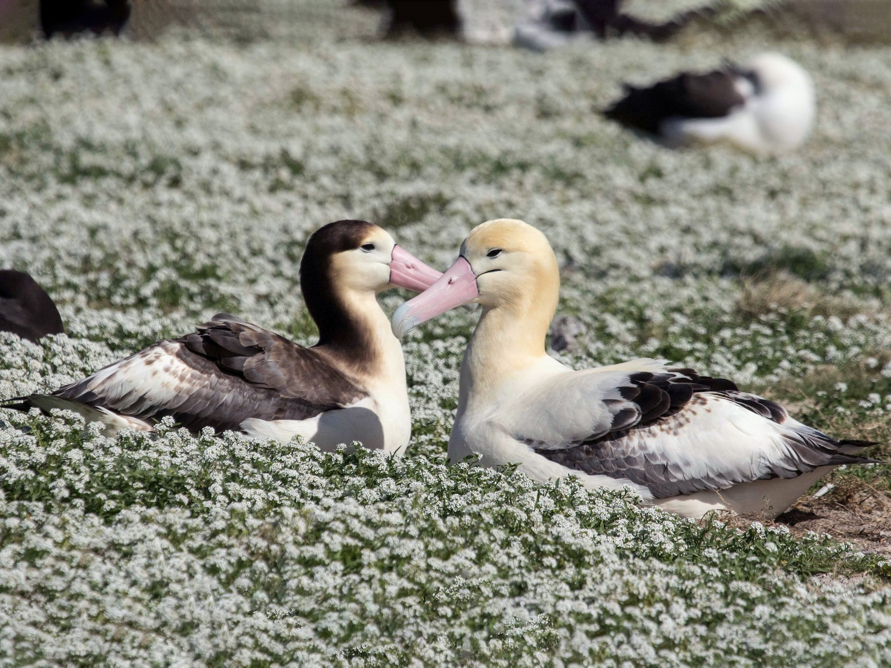 Short-tailed Albatross - Eric VanderWerf
