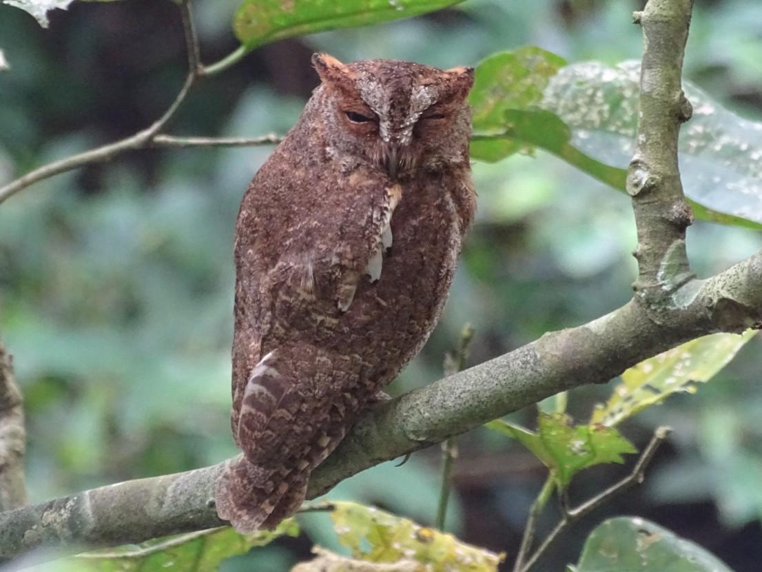 Ryukyu Scops-Owl - Tom Liao