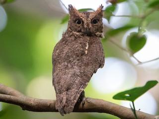 - Ryukyu Scops-Owl