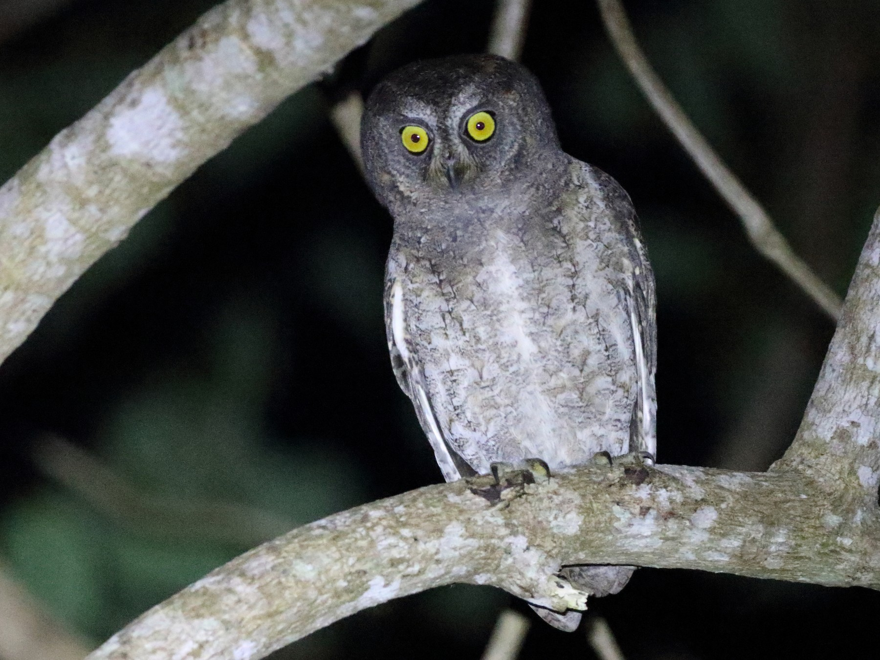 Ryukyu Scops-Owl - Richard Fuller
