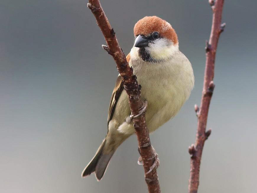 Russet Sparrow - Samiran  Jha