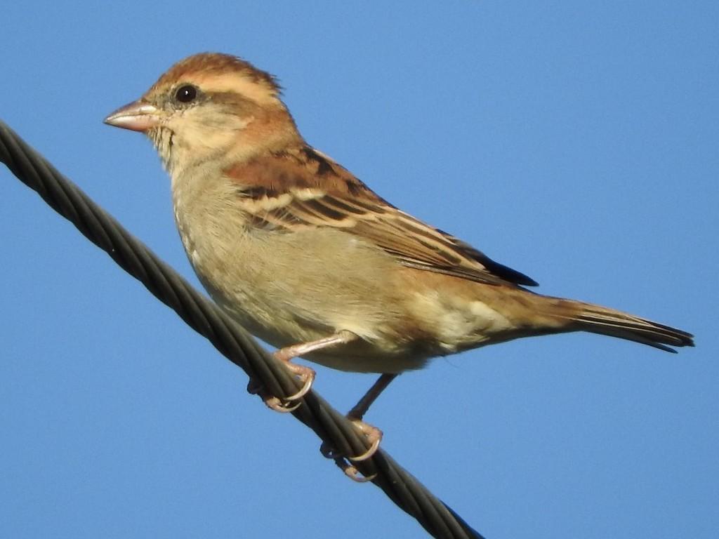 Russet Sparrow - Subbu Subramanya