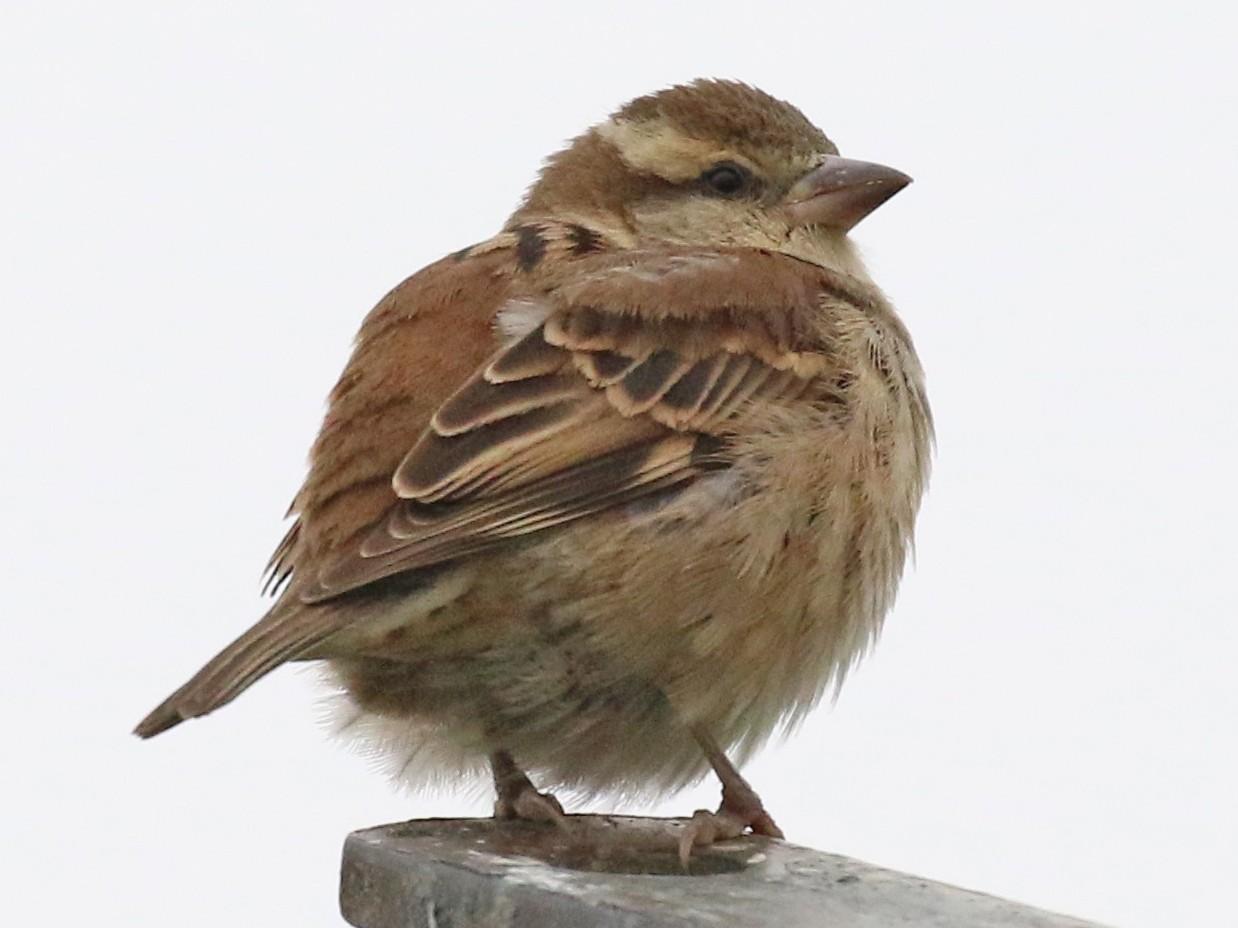 Russet Sparrow - Knut Hansen