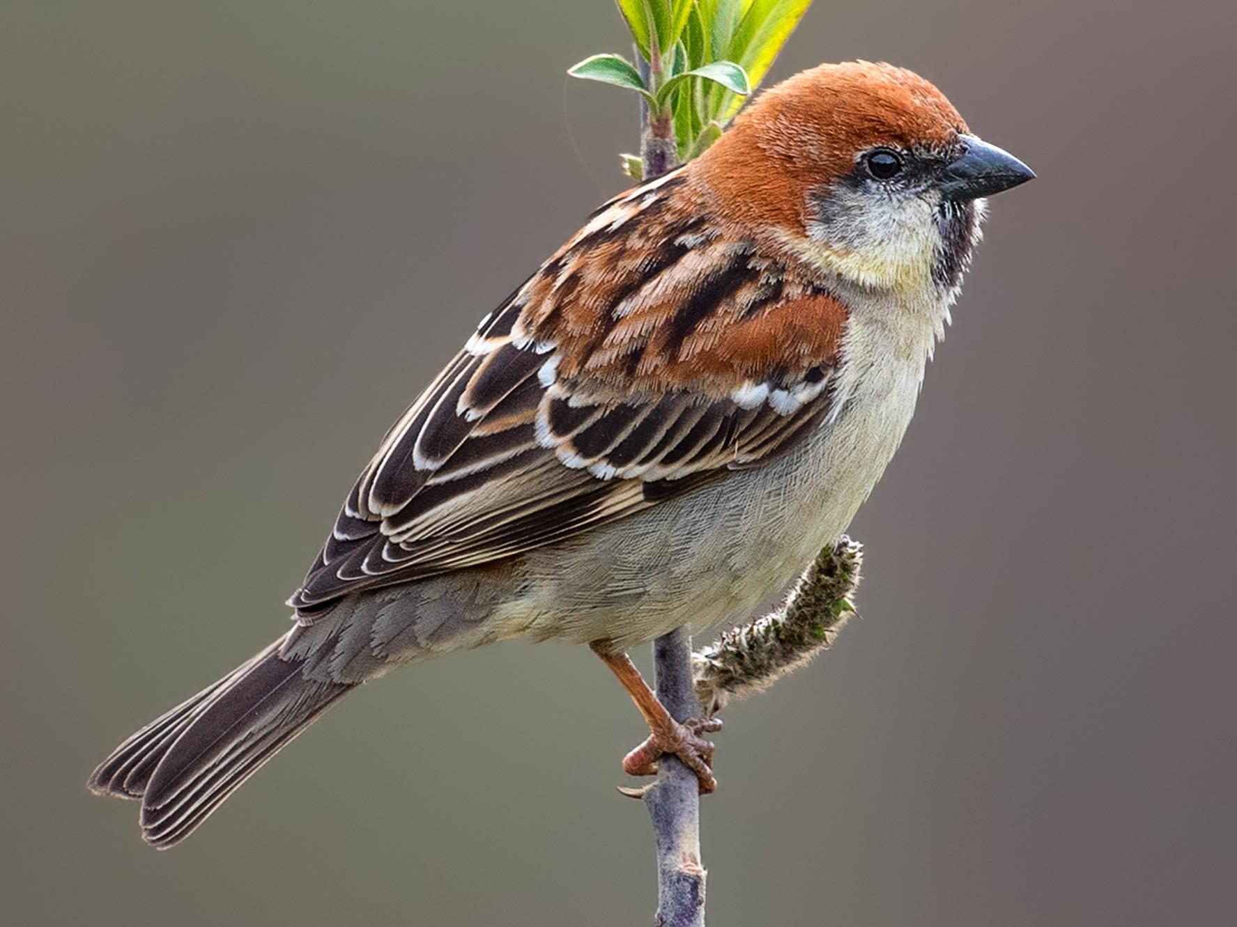 Russet Sparrow - Abhishek Das