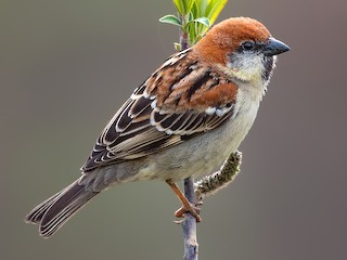 - Russet Sparrow