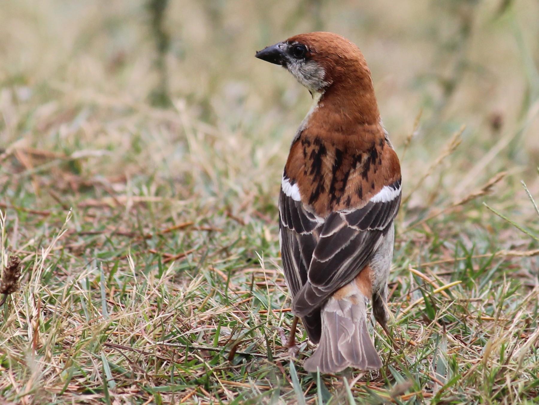 Russet Sparrow - Shekar Vishvanath