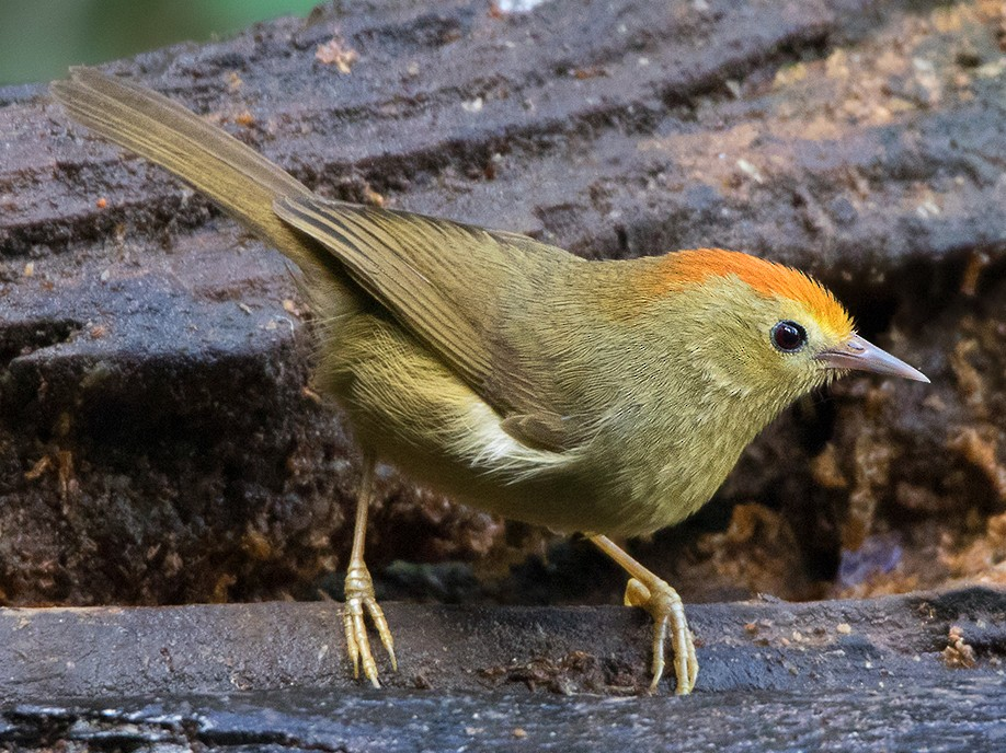 Rufous-capped Babbler - Ayuwat Jearwattanakanok