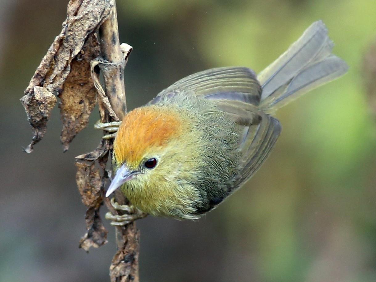 Rufous-capped Babbler - Peter Hosner