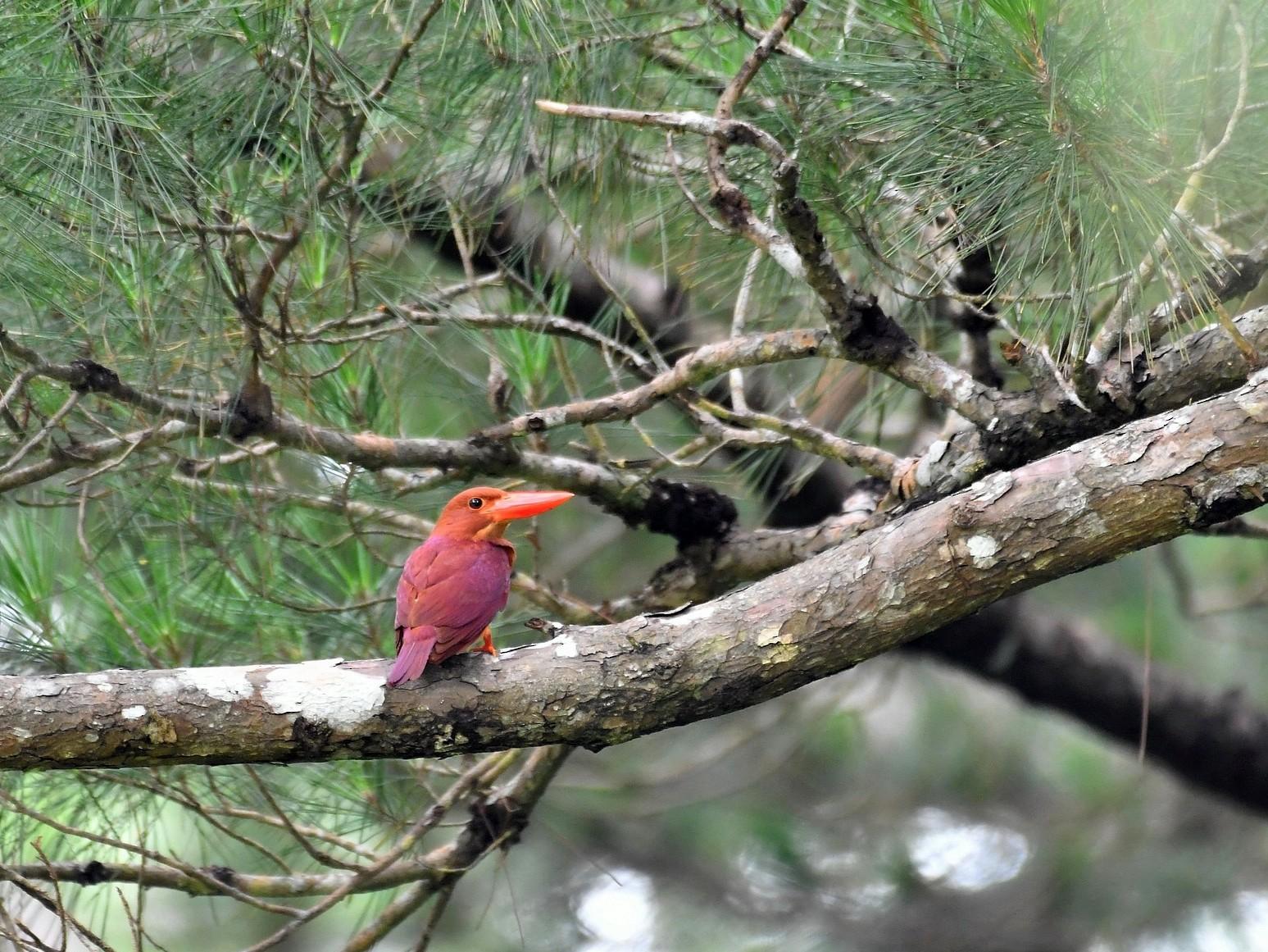 Ruddy Kingfisher - Anonymous eBirder