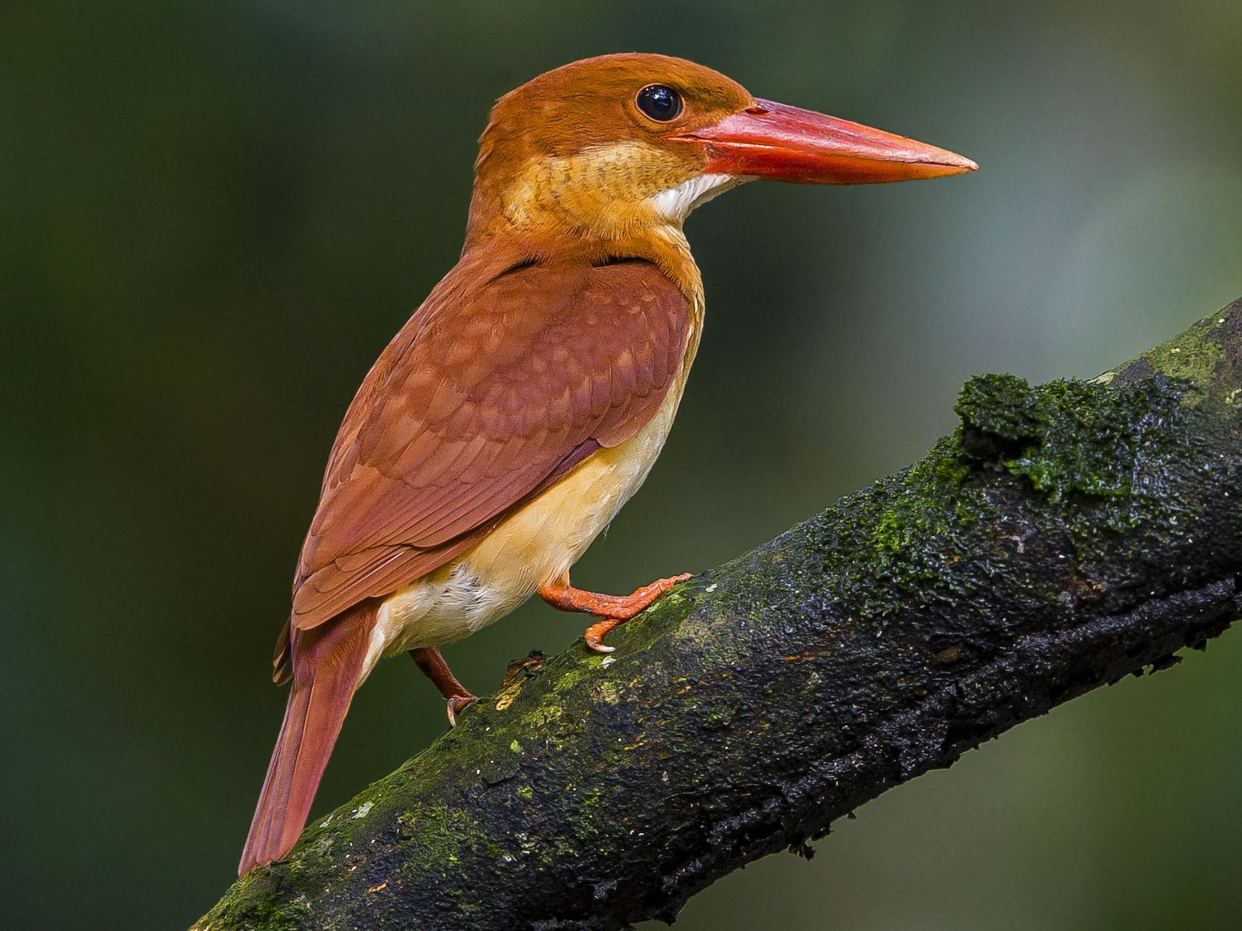 Ruddy Kingfisher - Ramon Quisumbing