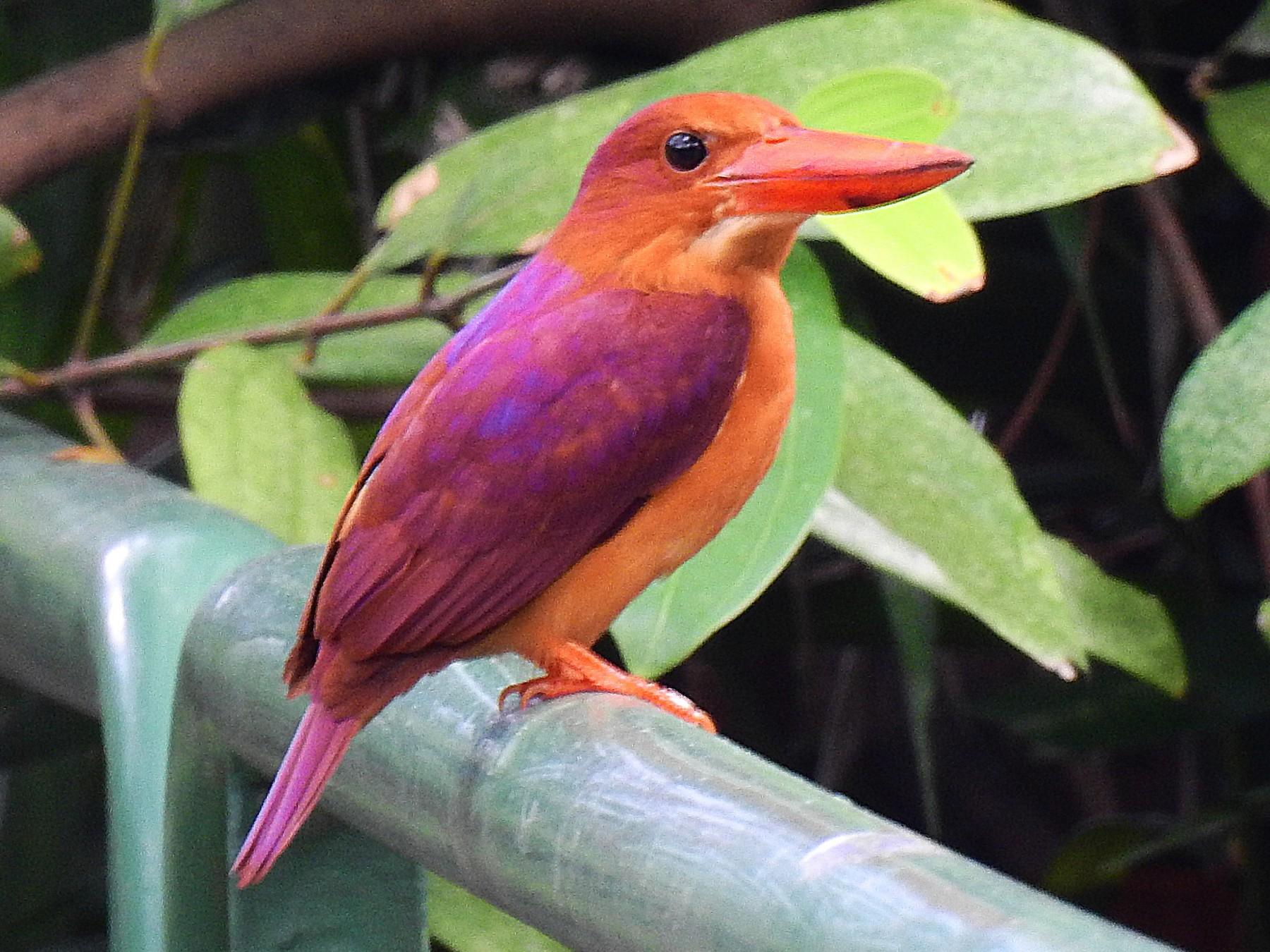 Ruddy Kingfisher - eBird