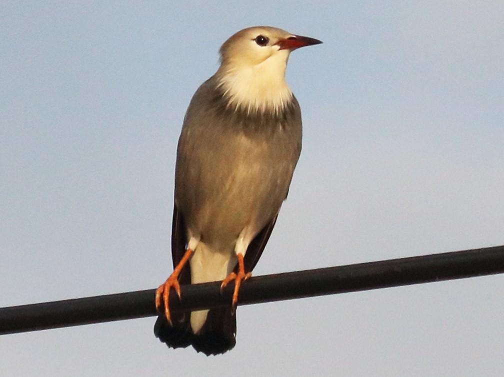 Red-billed Starling - Wing Yan Ng