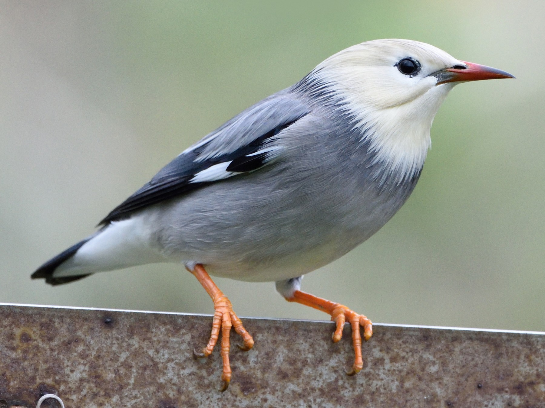 Red-billed Starling - 家祺 戴