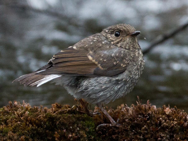 Plumbeous Redstart - Ian Davies