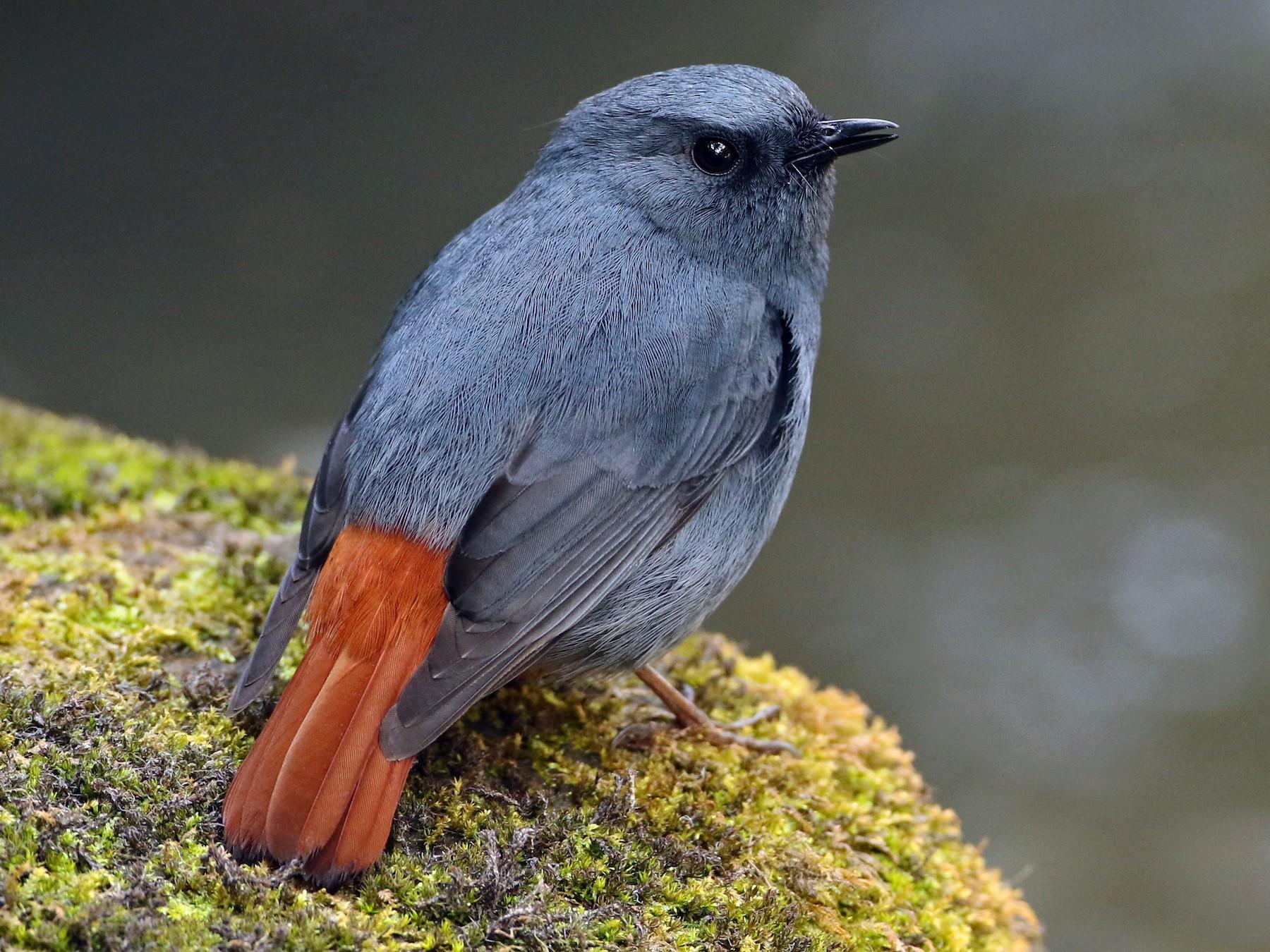 Plumbeous Redstart - Luke Seitz