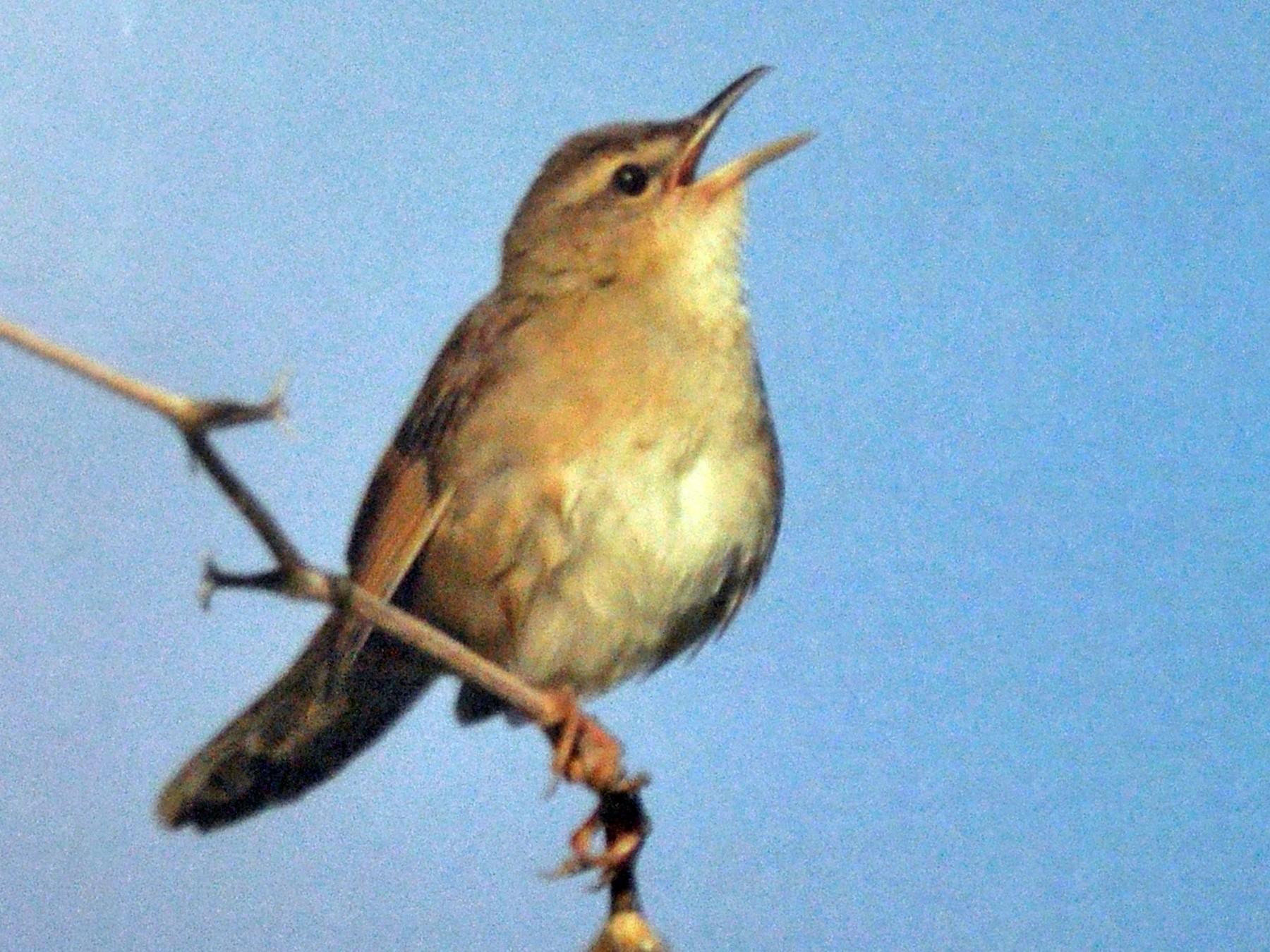 Pleske's Grasshopper Warbler - Diana Flora Padron Novoa