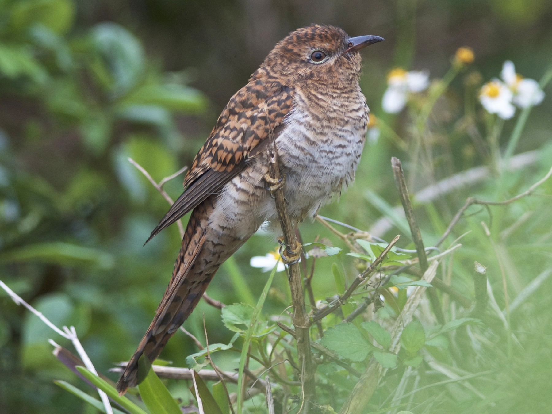 Plaintive Cuckoo - Chun-Chieh Liao