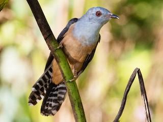 - Plaintive Cuckoo