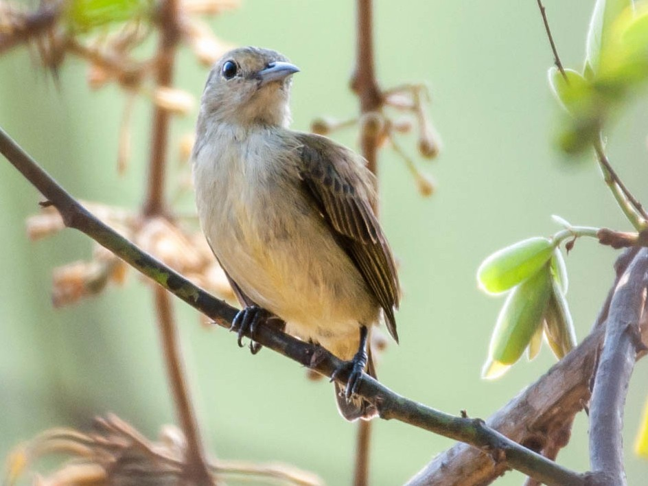 Plain Flowerpecker - Sakkarin Sansuk