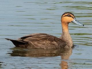 - Philippine Duck