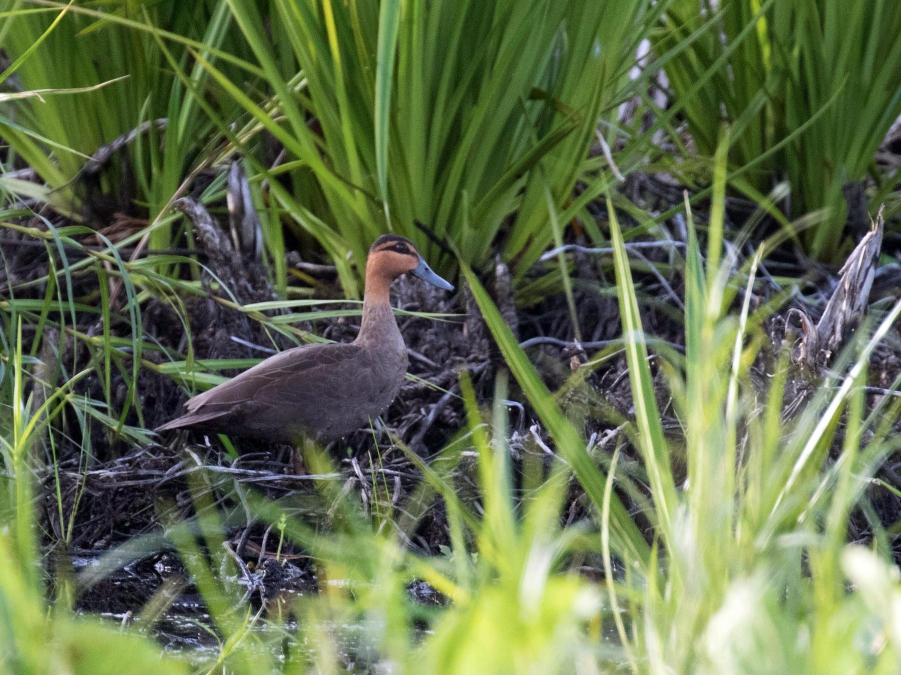 Philippine Duck - Ross Gallardy
