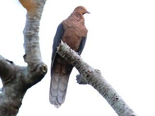 - Philippine Cuckoo-Dove