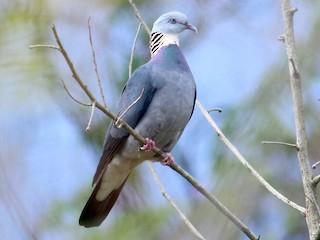 - Ashy Wood-Pigeon