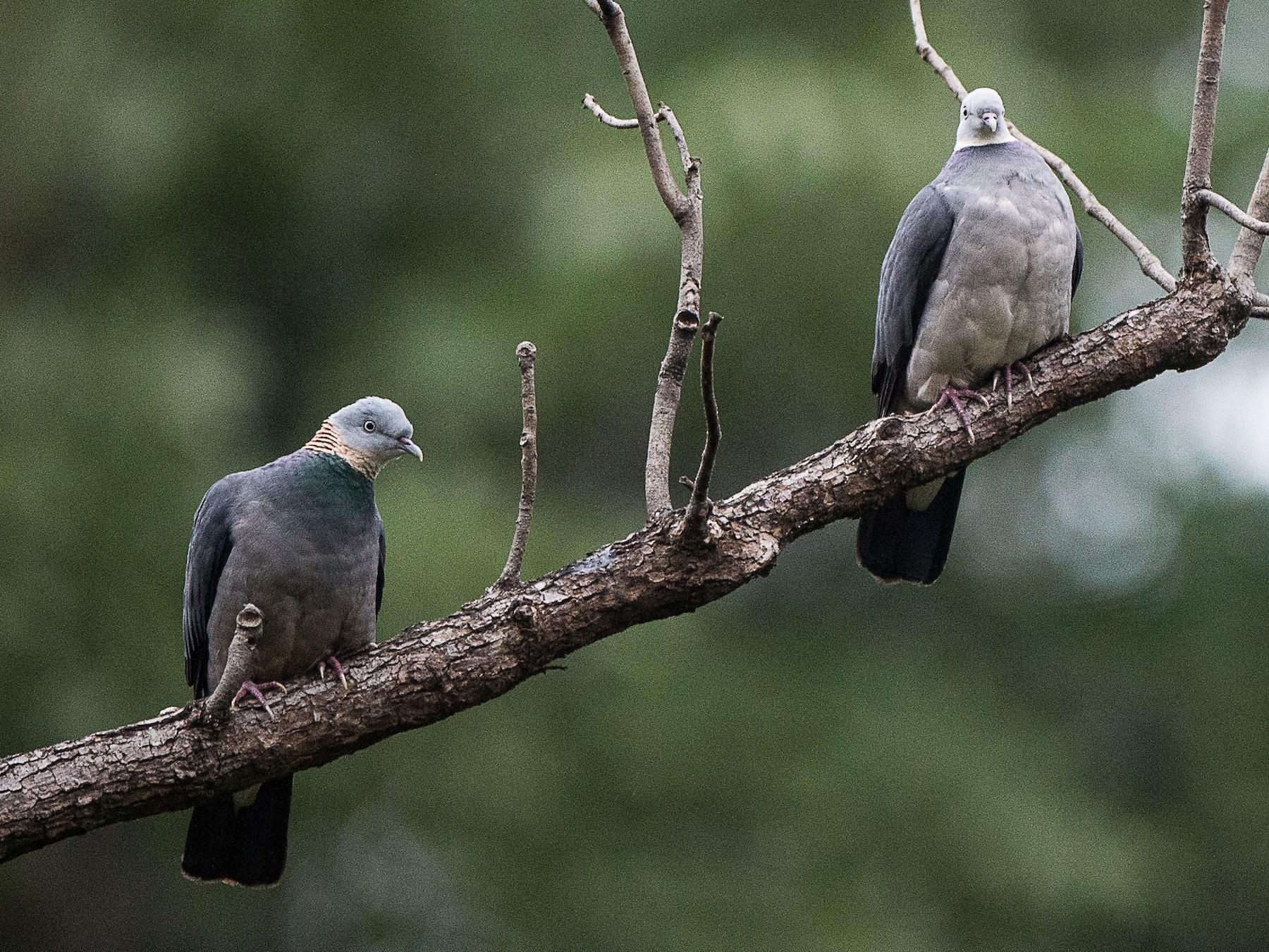Ashy Wood-Pigeon - jimmy Yao