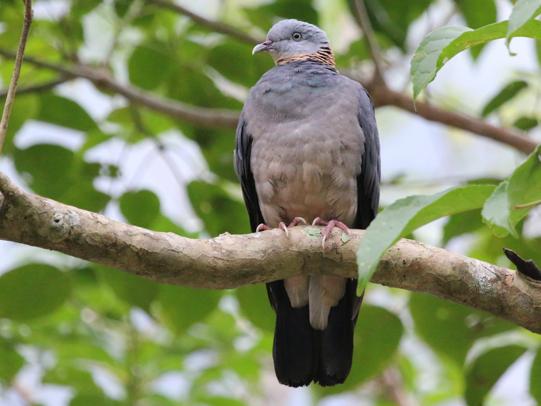 Ashy Wood-Pigeon - ST Chien