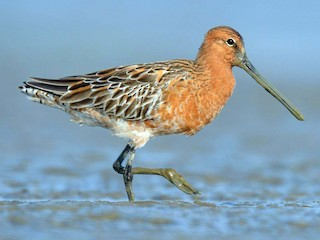 - Asian Dowitcher