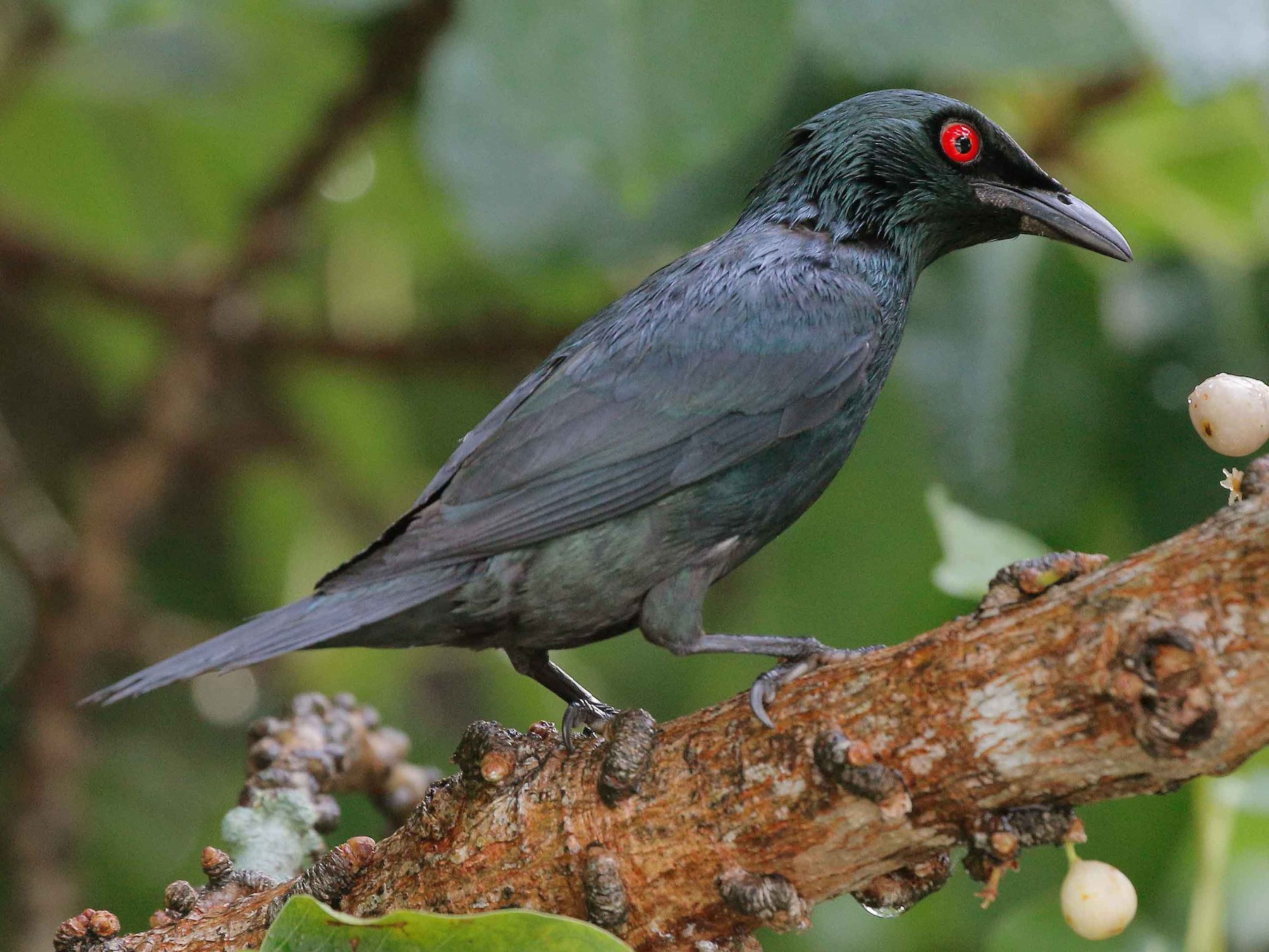 Asian Glossy Starling - Neoh Hor Kee