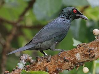 - Asian Glossy Starling