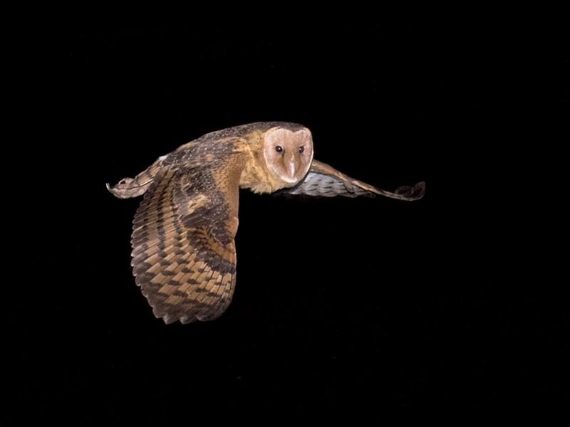 Australasian Grass-Owl - Richard Jackson
