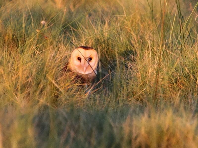 Australasian Grass-Owl - Ric Else