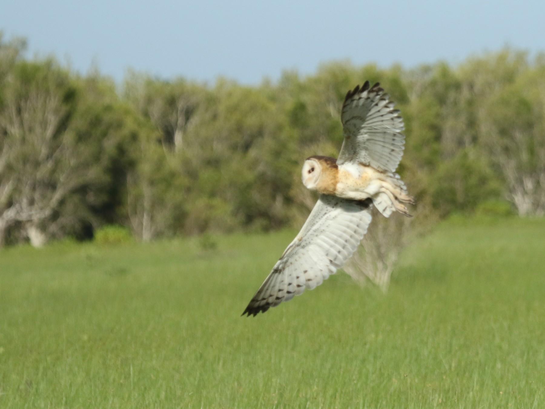 Australasian Grass-Owl - Stewart  Ford