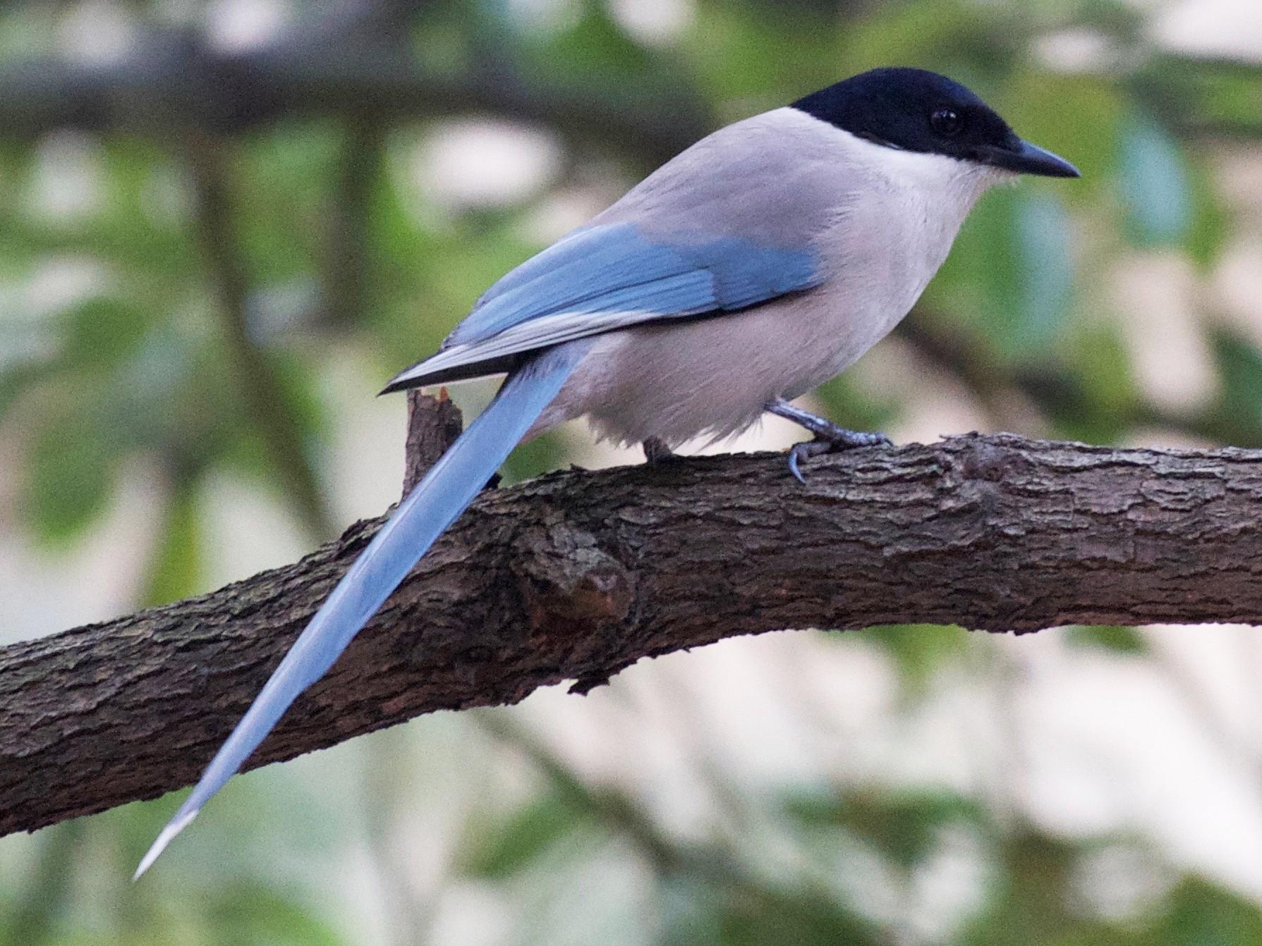 Azure-winged Magpie - Yasuhiko Komatsu