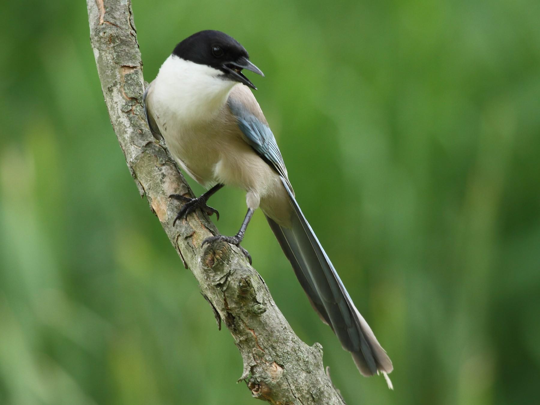 Azure-winged Magpie - Patrick J. Blake