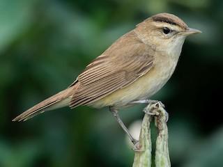 - Black-browed Reed Warbler