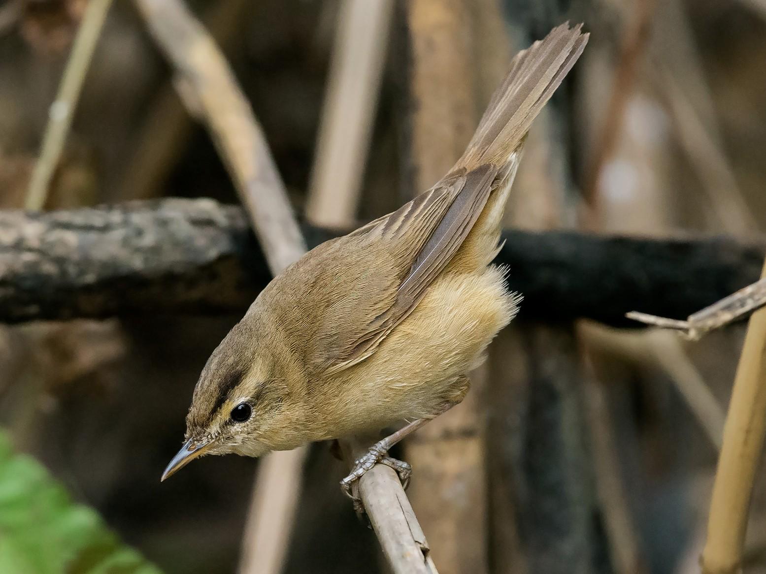 Black-browed Reed Warbler - Natthaphat Chotjuckdikul