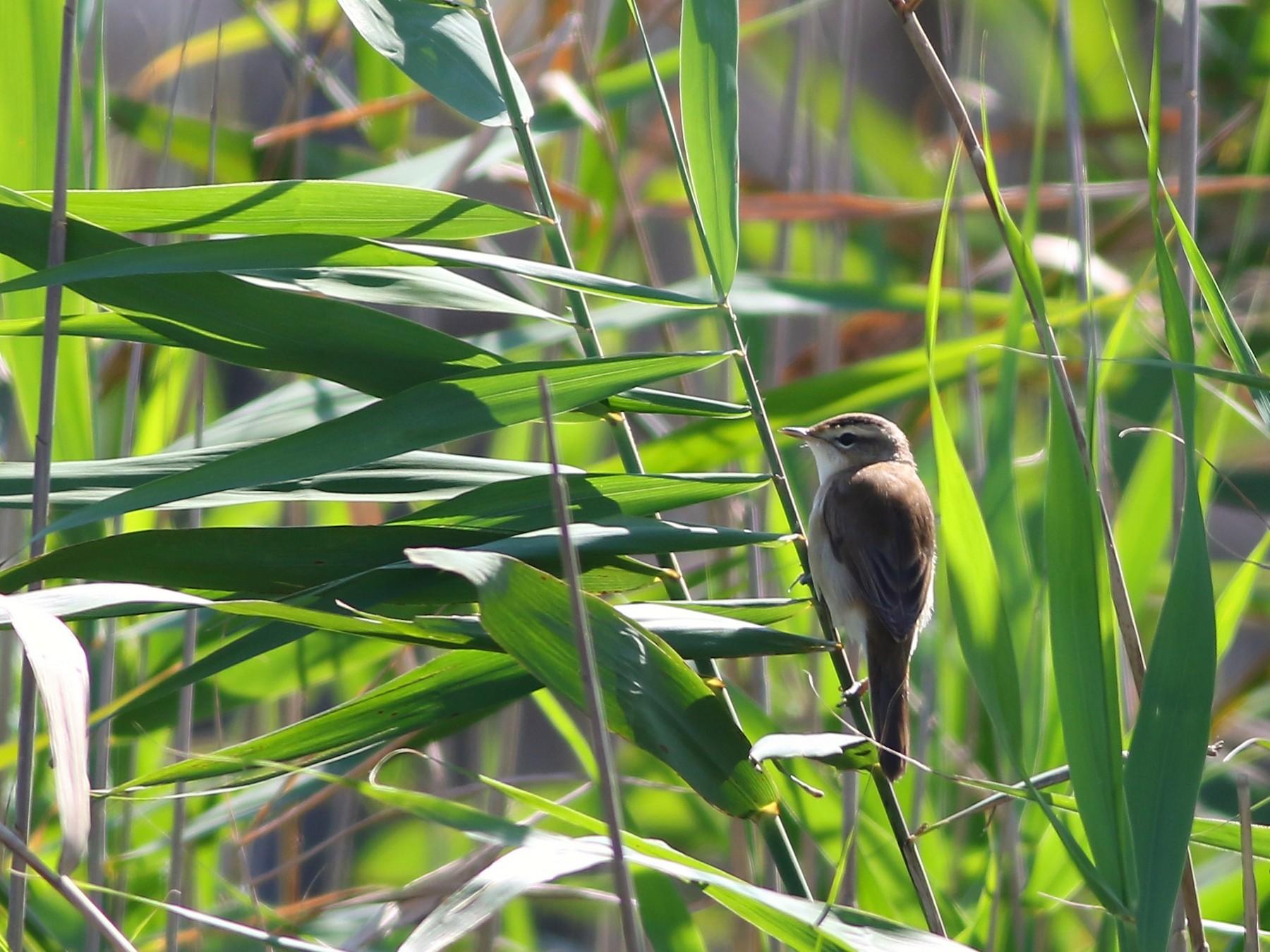 Black-browed Reed Warbler - Ko Cheng