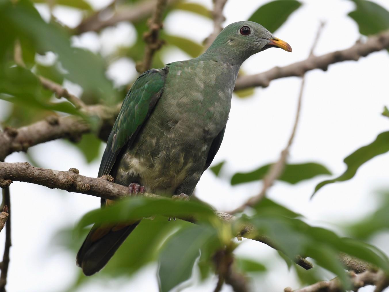 Black-chinned Fruit-Dove - Albert Tsai