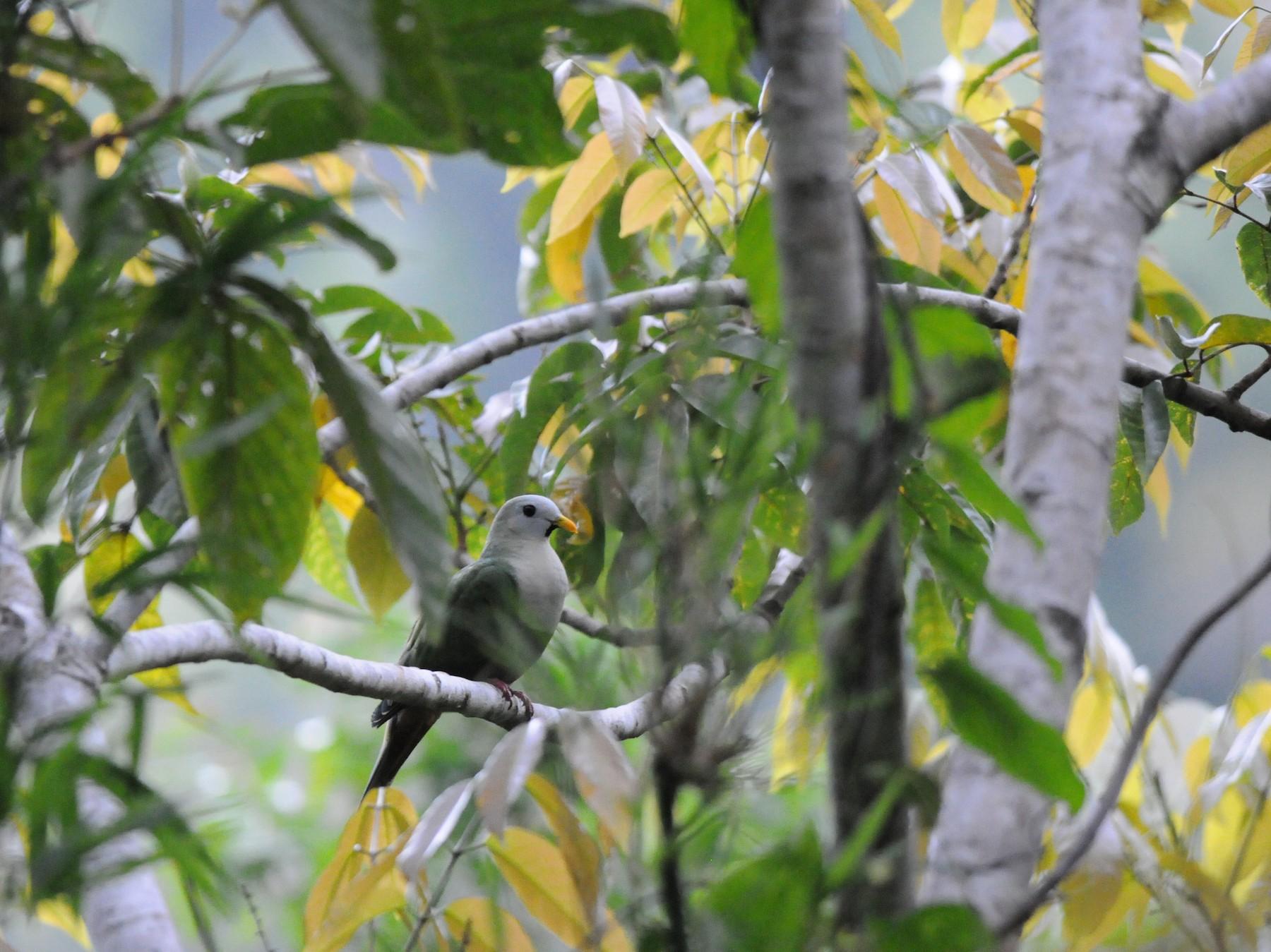 Black-chinned Fruit-Dove - Wayne Hsu