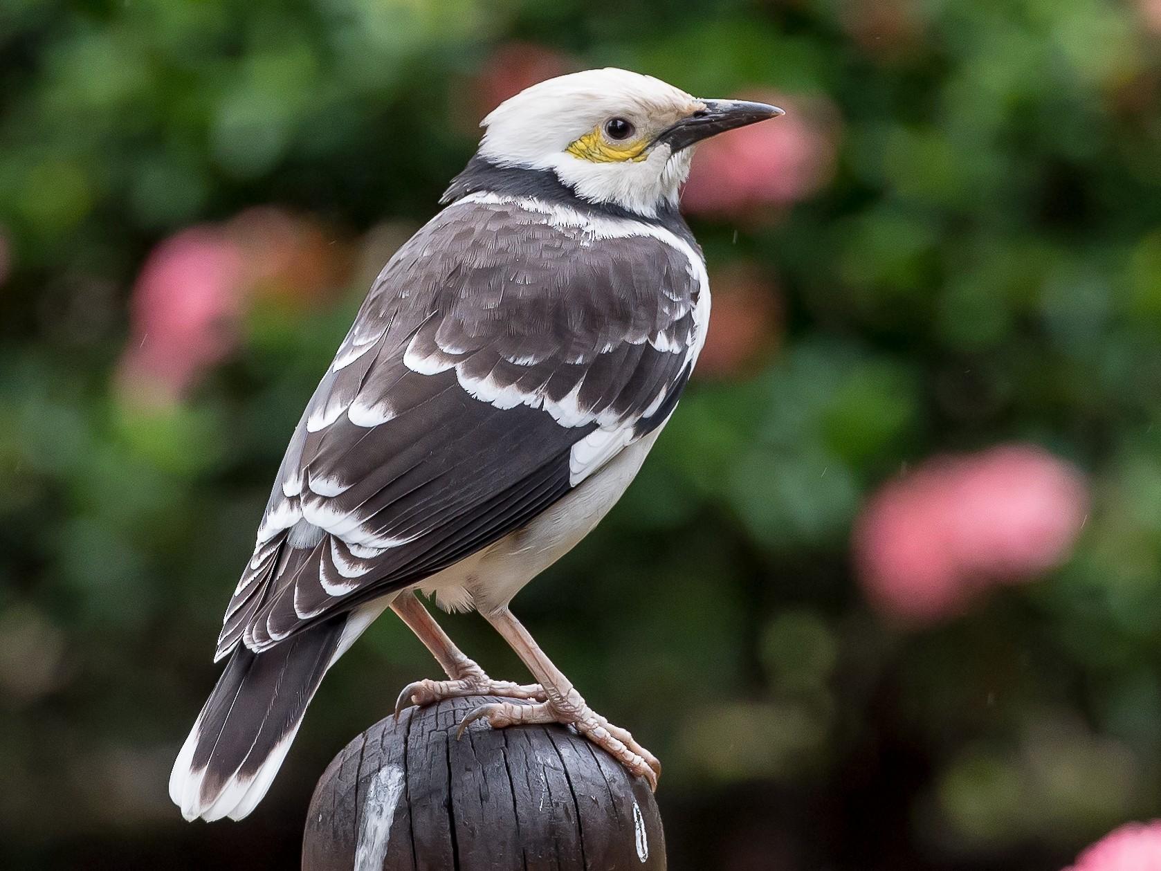 Black-collared Starling - Rogério Rodrigues