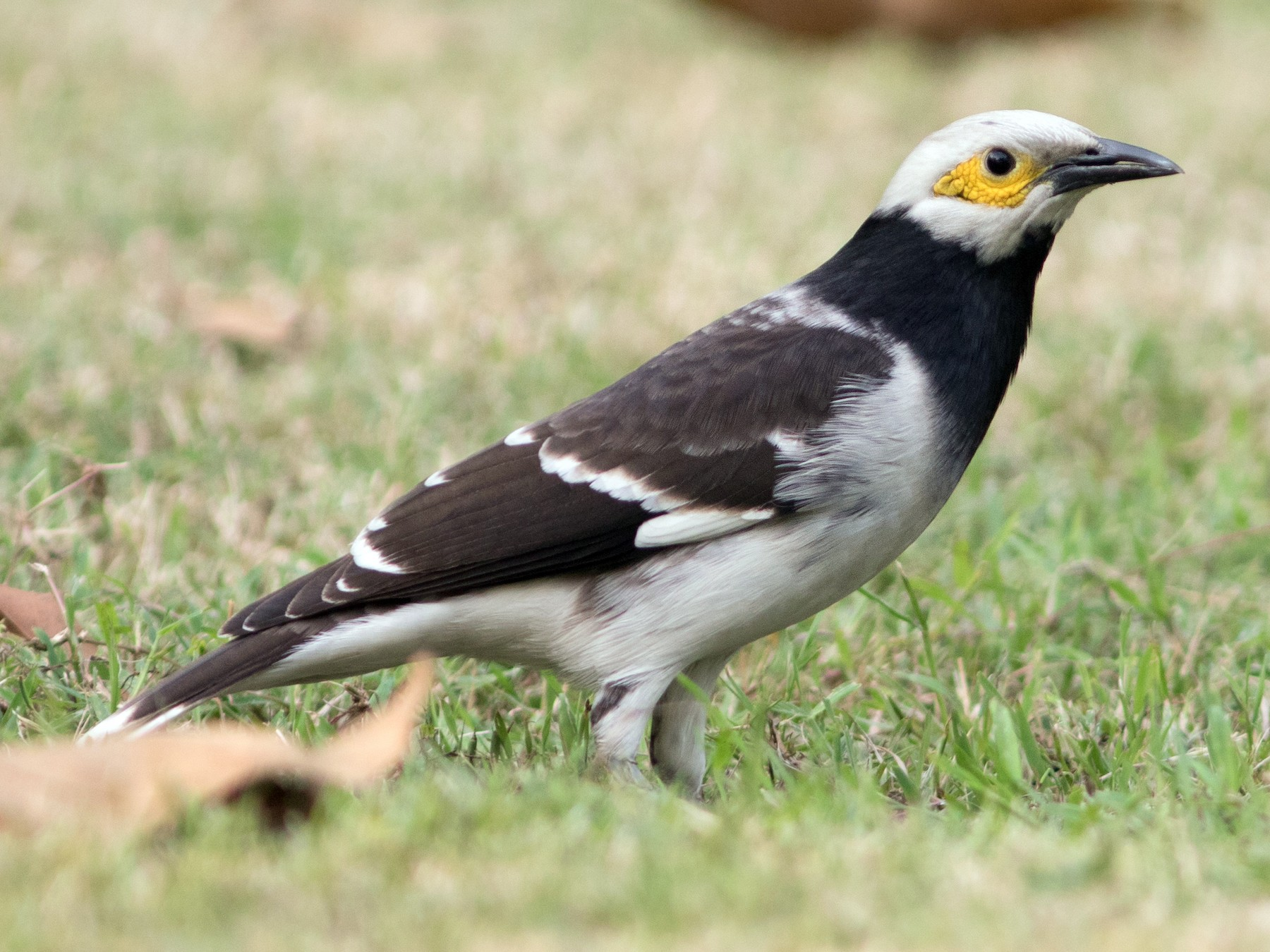 Black-collared Starling - Doug Hitchcox