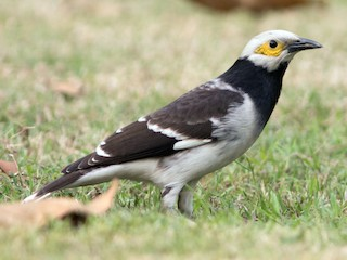 - Black-collared Starling