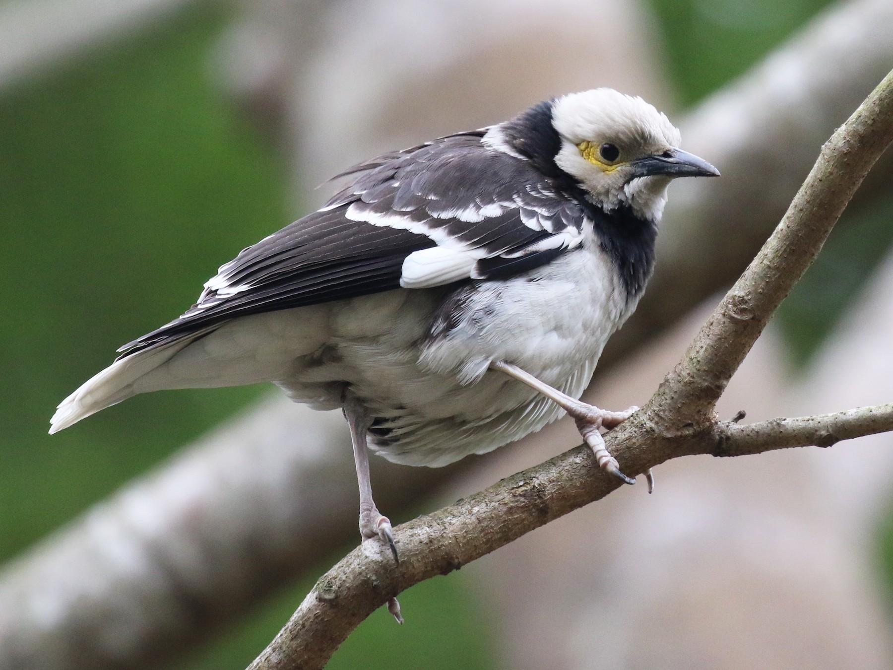 Black-collared Starling - Knut Hansen