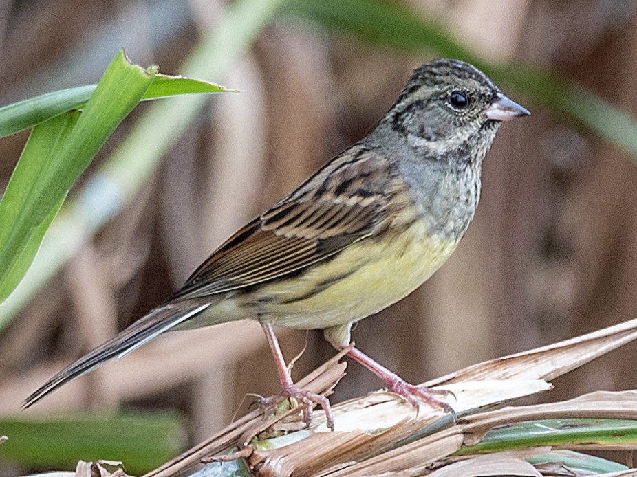 Black-faced Bunting - John Clough