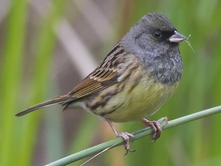 - Black-faced Bunting