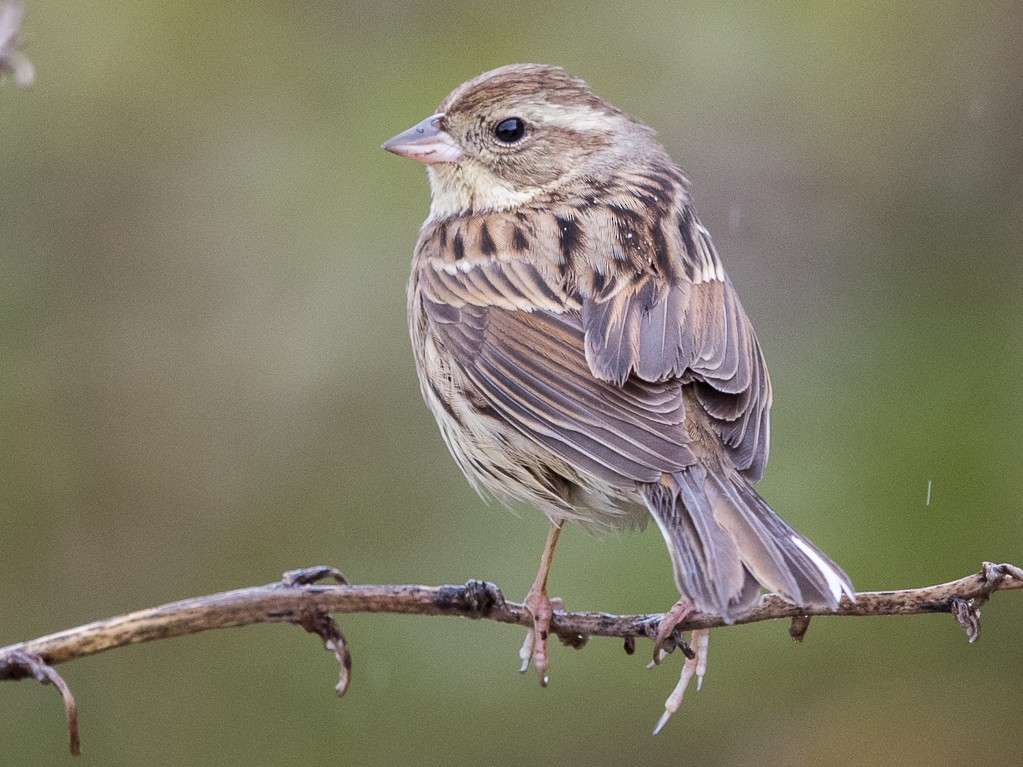 Black-faced Bunting - yann muzika